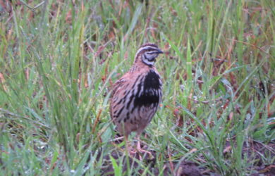 Quail Hunting Tips